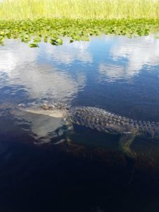 Everglades-Holiday-Park-Real-Gator-Boat-Tour